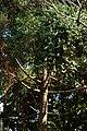 Pino brasil o Pino misionero (Araucaria angustifolia) (14222666779).jpg
