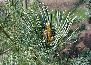 <i>Pinus parviflora</i> species of plant