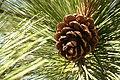 Pinus benthamiana cone.jpg