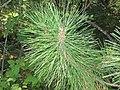 Pinus resinosa 2-eheep (5098077528).jpg