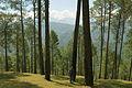 Pinus roxburghii Ranikhet.jpg