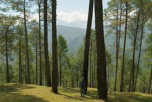 Himalayan subtropical pine forests - Pinus roxburghii forest, Uttarakhand, India