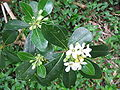 Pittosporum undulatum (Flower) 2.jpg