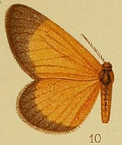 Pl.40-fig.10-Staphylinochrous fulva Hampson, 1910.JPG