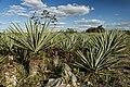 Plantío de henequén en las cercanías de Ake, Yucatán, México.jpg