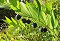 Plant in nature reserve Macie diery (1).jpg