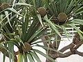 Planta de Habana.JPG
