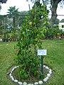 Planta de Sillinto en el Jardín Botánico de Lima.jpg
