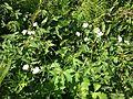 Platanen-Hahnenfuss - Platanenblättriger Hahnenfuss - Ranunculus platanifolius 6802.jpg