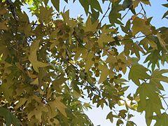 240px platanus racemosa california