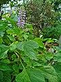 Plectranthus fruticosus 001.JPG