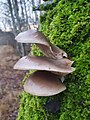 Pleurotus ostreatus 108702214.jpg