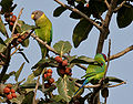 Plum-headed Parakeet (Psittacula cyanocephala) feeding on Ficus benghalensis W IMG 4347.jpg