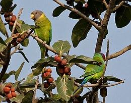 Plum-headed Parakeet (Psittacula cyanocephala) feeding on Ficus benghalensis W IMG 4347