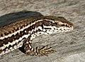Podarcis erhardii - Erhard's wall lizard in Albania.jpg
