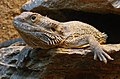 Pogona vitticeps Ile aux Serpents 201108 1.jpg