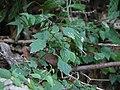 Pogostemon paniculatus (Willd.) Benth. (15581071024).jpg