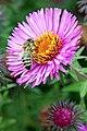 Poland-01809 - Busy as a Bee (32001209861).jpg