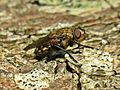 Pollenia spec. (Diptera sp.), Arnhem, the Netherlands - 3.jpg