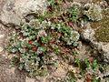 Polycarpaea latifolia Tenerife 2.jpg