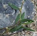 Polygonum oxyspermum subsp. raii stem (01).jpg