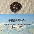 Polymita picta multifasciata IMG 5439 Beijing Museum of Natural History - Natural History Museum of Guangxi.jpg