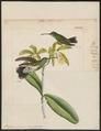 Polytmus linnaei - 1820-1860 - Print - Iconographia Zoologica - Special Collections University of Amsterdam - UBA01 IZ19100099.tif