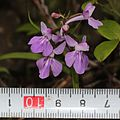 Ponerorchis graminifolia (with scale).jpg