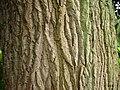 Populus-nigra-Havellaendisches-Luch-18-07-2008-259.jpg