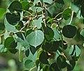 Populus tremuloides (quaking aspen) (Rocky Mountains National Park, Colorado, USA) 5 (15604763758).jpg