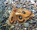 Poraněný hmyz na silnici u Baronova Mostu.jpg