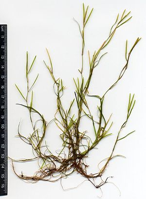 Potamogeton pusillus - Herbarium specimen from Lower Saxony, Germany