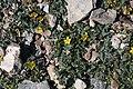Potentilla moorcroftii (Rosaceae) (27271576954).jpg