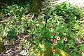 Potentilla nepalensis - VanDusen Botanical Garden - Vancouver, BC - DSC07127.jpg