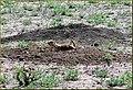 Prairie Dog, Ludlow, CO 7-29-13b (11386959286).jpg
