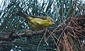 Prairie Warbler (documentation photos) (43158046980).jpg