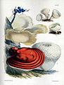 Price-Sarah-fungi-plate-XII-1865.jpg