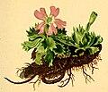Primula minima Atlas Alpenflora.jpg
