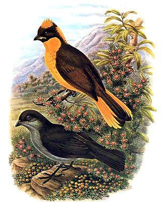 Golden bowerbird - Image: Prionodura newtoniana by Bowdler Sharpe