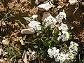 Pritzelago alpina 002.jpg