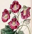 Proboscidea louisianica subsp. fragrans (Martynia fragrans) Edwards's Bot. Reg. 26. 85. 1840 cropped.jpg