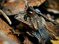 Proceratophrys boiei - Carlos Botelho.jpg