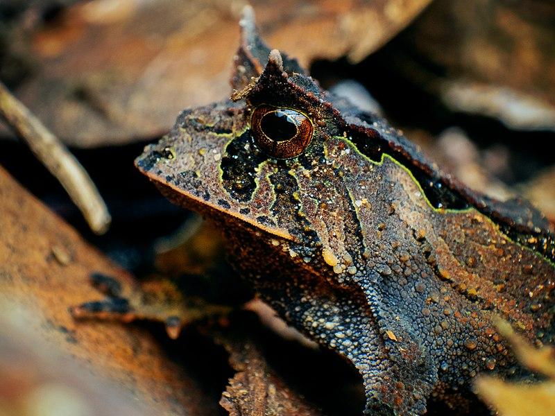 File:Proceratophrys boiei - Carlos Botelho.jpg
