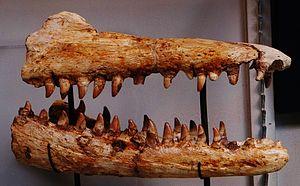 Liodon - Jaws referred to Liodon compressidens.