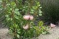 Protea cynaroides kz3.jpg