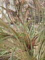 Protea montana nicky iNat37819467b.jpg
