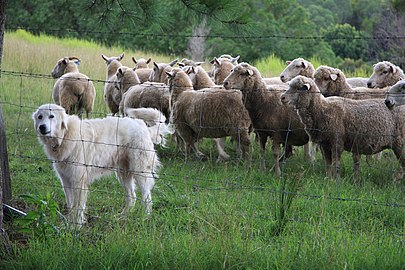 A Maremma Sheepdog LGD with its flock of sheep in Australia Protector of the sheep.jpg