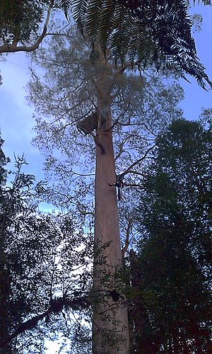 Tree sitting - Protester climbing to a tree sit 35m high in Upper Florentine Valley, in Tasmania, Australia.