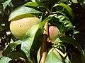 Prunus armeniaca, unripe apricot fruits - άγουρα βερύκοκα.jpg