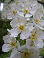 Prunus padus BOGA Bern 5.JPG